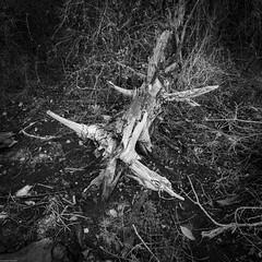 Tree Skeleton (DayBreak.Images) Tags: dekalbcounty georgia arabiamtn naturepreserve dead tree skeleton canondslr tokina1628mm bw