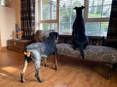 Dobermanns On Guard (firehouse.ie) Tags: dog dogs doberman dobie pinscher dobe dobermann dobey dobies dobermans dobes pinschers dobermanns dobeys saxon gabbana chien animal animals canine k9 chiens