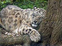 Snow leopard loving the tree (Tambako the Jaguar) Tags: snowleopard big wild cat close portrait face holding sunuggling loving love paw tree root trunk base cute closedeyes vegetation salzburg zoo austria nikon d5