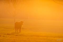 Heckrind (Tierfotografie Niklas Mattern) Tags: tierpark sababurg canon eos 1dxmarkii ef 400l28isii heckrind rind auerochse