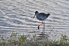 chevalier arlequin / Tringa erythropus 19E_0865 (Bernard Fabbro) Tags: tringa erythropus chevalier arlequin spotted redshank oiseau bird coth5