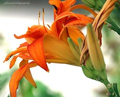 Every flower is a soul blossoming in nature (jackfre 2 (thx for 22 million visits)) Tags: flower lily mechelen belgium orangecolour