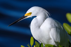 """Closeup of Snowy egret sitting in a Mangrove tree at J.N. """"Ding"""" Darling National Wildlife Refuge on Sanibel Island, Florida (diana_robinson) Tags: snowyegret egrettathula mangrovetree wildlife animalinthewild conservation environment environmentalconservation outdoors beautyinnature nopeople sanibelisland florida jndingdarlingnationalwi jndingdarlingnationalwildliferefuge audubon"""