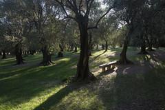 olive grove (jonnybaker) Tags: france menton olivetree