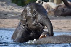 Sanuk @ Artis 14-10-2018 (Maxime de Boer (2)) Tags: sanuk asian asiatic elephant aziatische olifant natura artis magistra zoo amsterdam animal dier animals dieren dierentuin gods creation schepping