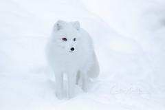 White (CecilieSonstebyPhotography) Tags: norway arctic markiii fox white winter endangered closeup canon5dmarkiii snowfox whitefox february canon alopexlagopus polarfox snow specanimal