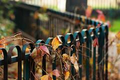 fence with leaves (kinaaction) Tags: autumn autumncolors fence fencedfriday autumnalfence sonyilce6000 leaves fall jesień ogrodzenie płotek