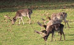Fallow Deer Stags (jdathebowler Thanks for 4.5 Million + views.) Tags: fallowdeer harewoodhouse harewood leeds westyorkshire deer ruminant mammals