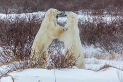 Churchill Canada IJsberen19 (J.Dijkstra) Tags: canada churchill ijsberen