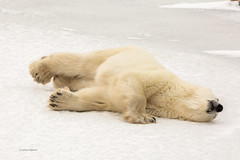 Churchill Canada IJsberen21 (J.Dijkstra) Tags: canada churchill ijsberen