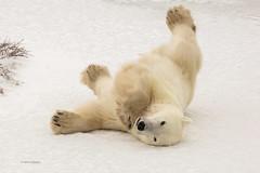 Churchill Canada IJsberen24 (J.Dijkstra) Tags: canada churchill ijsberen
