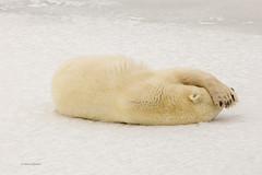 Churchill Canada IJsberen22 (J.Dijkstra) Tags: canada churchill ijsberen