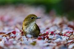MPP_6898 (Marco N. Pochi) Tags: d850 nikon nikkor nature n500pf 500pf wildlife bird hongkong lesser shortwing
