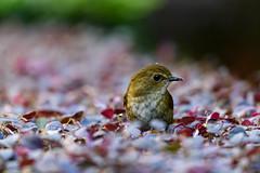 MPP_6892 (Marco N. Pochi) Tags: d850 nikon nikkor nature n500pf 500pf wildlife bird hongkong lesser shortwing