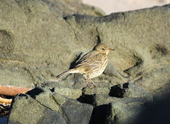 Rock pipit (Anthus petrosus) (Dave Russell (1.5 million views thanks)) Tags: rock pipit anthus petrosus bird animal wildlife nature outdoor photo photograph photography canon eos eos7d 7d kildonan isle island arran clyde west western scotland ecosse