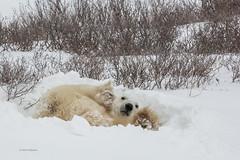 Churchill Canada IJsberen35 (J.Dijkstra) Tags: canada churchill ijsberen