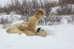 Churchill Canada IJsberen37 (J.Dijkstra) Tags: canada churchill ijsberen