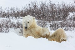 Churchill Canada IJsberen33 (J.Dijkstra) Tags: canada churchill ijsberen