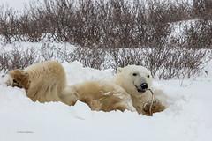 Churchill Canada IJsberen40 (J.Dijkstra) Tags: canada churchill ijsberen