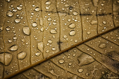 Drops (Gavmonster) Tags: gswphotography nikon d7500 nikond7500 sheffieldpark park gardens nationaltrust sussex uk unitedkingdom leaf dew water drops brown veins autumn detail macro 105mm micro closeup nature