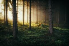 L u m i n o u s III (der_peste (on/off)) Tags: forest raysoflight raysofgod sunray mist fog misty foggy trees woodland timber woods moss soil duff light sunlight sunrise moody mood