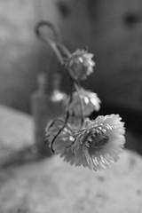 Come Into My World (shawn~white) Tags: flower helichrysumbracteatum stilllife ©shawnwhite bokeh fujifilmxt2 cinematic dark dreamy enchanting melancholy mystery mystical nostalgia retro vintage floral fujinonxf16mmf14rwr wideangle grain filmlook closeup straw
