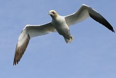 Gannet (robin denton) Tags: morusbassanus gannet seabird bird bemptoncliffs bempton rspb
