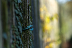 HFF (jillyspoon) Tags: hff ff fence fencefriday rope bluerope sony sonya7iii 85mm 1855mm 85mmprime sony85mm dof depthoffield fencephotography ivy ivyfence