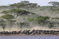 Mass Movement (AnyMotion) Tags: bluewildebeest commonwildebeest whitebeardedwildebeest weisbartgnu streifengnu blauesgnu connochaetustaurinus antelope antilope acacias akazien dust staub movement bewegung 2018 anymotion lakemasek ngorongoroconservationarea tanzania tansania africa afrika travel reisen animal animals tiere nature natur wildlife 7d2 canoneos7dmarkii ngc npc