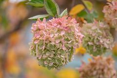 Autumn in the yard (Dotsy McCurly) Tags: lookingcloseonfriday autumnflora treehydrangea yard autumn orange pink flower tree nj newjersey nikond850 tamron35150mmf284