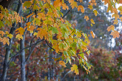 Foliage 19 Oct 2019 (10) (smata2) Tags: autumnfoliage pioneervalley