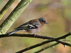 Chaffinch (M) (only1malcolmfisher) Tags: chaffinch birds