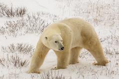 Churchill Canada IJsberen25 (J.Dijkstra) Tags: canada churchill ijsberen