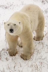 Churchill Canada IJsberen26 (J.Dijkstra) Tags: canada churchill ijsberen