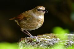 MPP_6956 (Marco N. Pochi) Tags: d850 nikon nikkor nature n500pf 500pf wildlife bird hongkong lesser shortwing