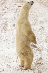 Churchill Canada IJsberen28 (J.Dijkstra) Tags: canada churchill ijsberen