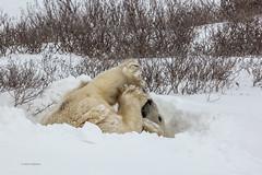 Churchill Canada IJsberen36 (J.Dijkstra) Tags: canada churchill ijsberen
