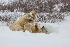 Churchill Canada IJsberen38 (J.Dijkstra) Tags: canada churchill ijsberen