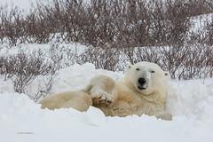Churchill Canada IJsberen41 (J.Dijkstra) Tags: canada churchill ijsberen