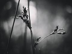 Lines (J.C. Moyer) Tags: naturephotographynoir rustic holland thenetherlands volendam edam hfs45150 dmcgx80 panasonic lumix45150mm lumixgx80 lumix flora zwartwit blackandwhite natuur nature natuurfotografie naturephotography