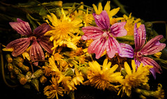 Autumn flora (Jose Rahona) Tags: lookingcloseonfriday autumnflora malva mellow dientedeleon dandelion flores flowers flor hojas leaves wildflores floressilvestres