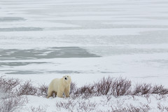 Churchill Canada IJsberen43 (J.Dijkstra) Tags: canada churchill ijsberen