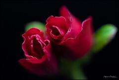 Alpenrose (ermannobraghiroli) Tags: rododendro alpenrose red flower fiore
