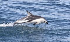 Dusky Dolphin (richard.mcmanus.) Tags: marinemammals duskydolphin dolphin mammal wildlife cetacean mcmanus newzealand