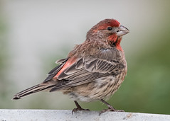 Front, back and down (nickinthegarden) Tags: housefinch abbotsfordbccanada