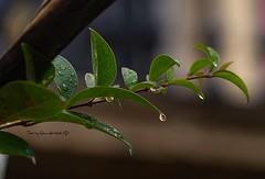 Lluvia (tonygimenez) Tags: agua gotas hojas sony a7ii lluvia otoño humedad cascante navarra españa