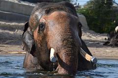 Nikolai @ Artis 14-10-2018 (Maxime de Boer (2)) Tags: nikolai asian asiatic elephant aziatische olifant natura artis magistra zoo amsterdam animal dier animals dieren dierentuin gods creation schepping
