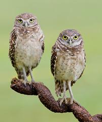 Burrowing Owls (Elizabeth Wildlife) Tags: burrowing owl florida