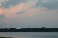 IMG_2149 (armadil) Tags: vulture vultures blackvulture blackvultures flying sunset lakemarianparadise florida kenansville bird birds