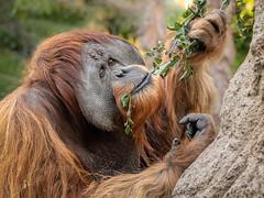 Smart Fellow (helenehoffman) Tags: indonesia greatape wildlife conservationstatuscriticallyendangered primate mammal satu orangutan sandiegozoo pongoabelii sumatra nature animal coth alittlebeauty coth5 sunrays5
